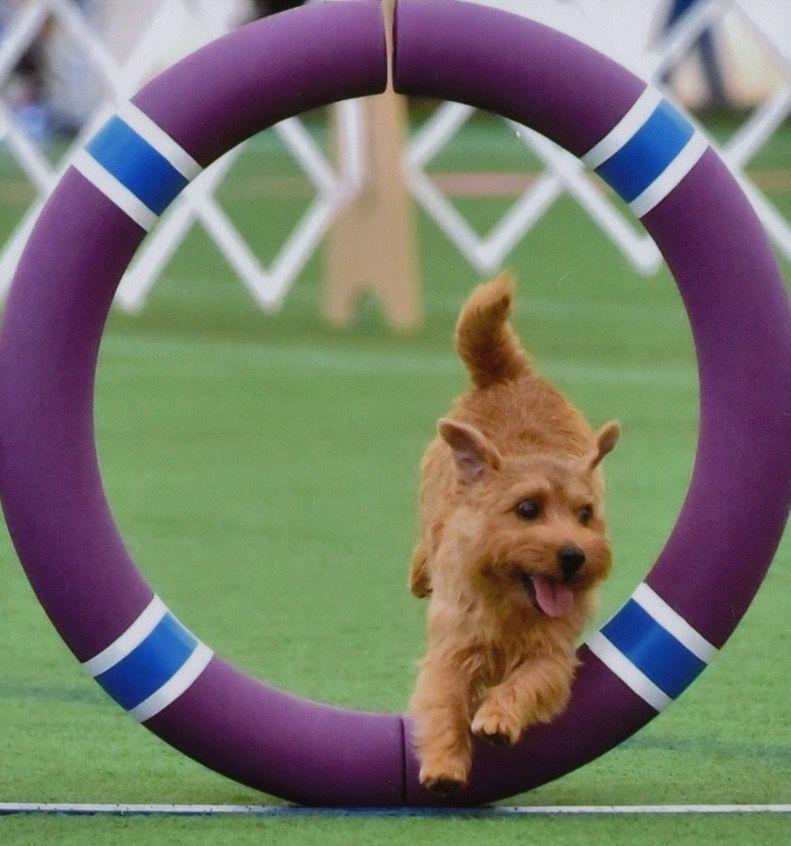 ringdog